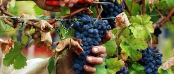 vendemmia uva vino