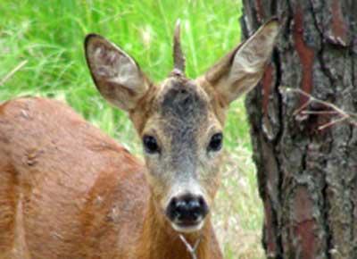 Stranezze animali da guinness dei primati lario news for Capriolo animale