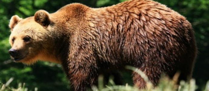 Dervio incontro ravvicinato con l 39 orso in localit for Cabina di montagna grande orso